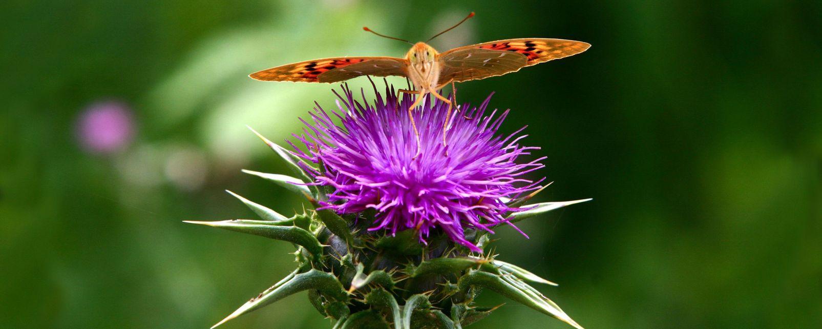 La flore ecosse royaume uni - Le chardon d ecosse ...