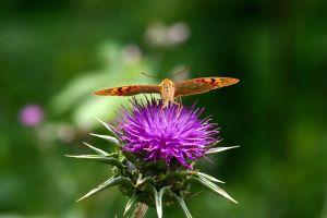 La faune et la flore, Ecosse, royaume-uni, écosse, ecosse, nature, flore, fleur, chardon, papillon, faune, animal