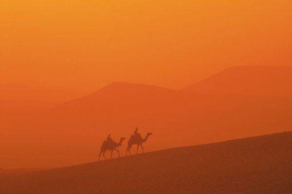 Die Wüstenfauna , Dromedare , Ägypten