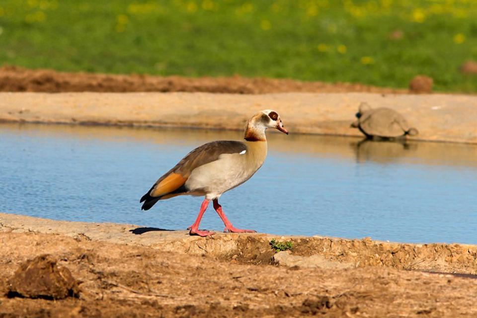 La fauna del desierto , Egipto
