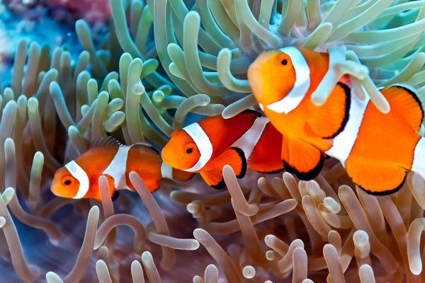 Die Unterwasser-Tierwelt , Der Zackenbarsch , Ägypten