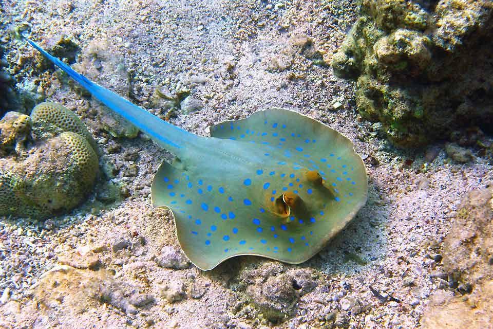 La raie pastenague à points bleus, La faune sous-marine, La faune et la flore, Egypte