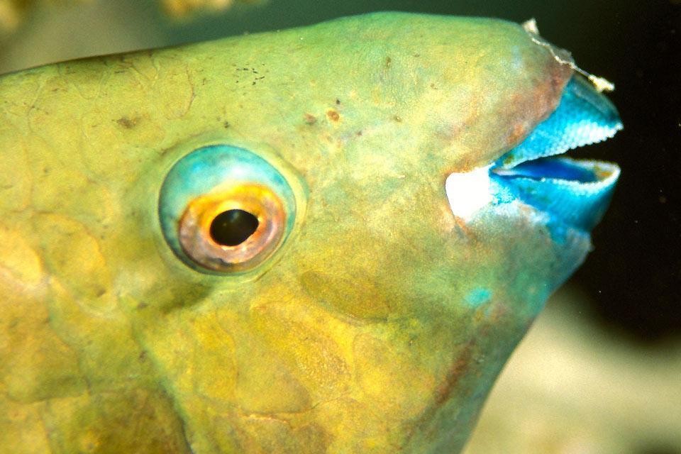 La faune sous-marine , Poisson-perroquet , Egypte