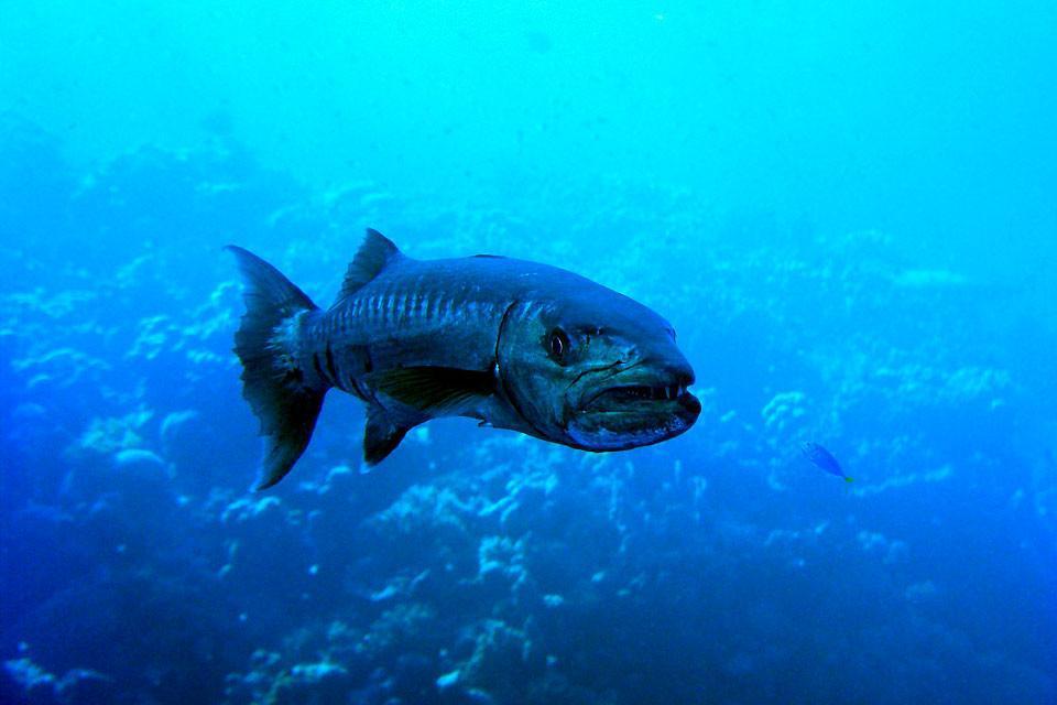 La faune sous-marine , Barracuda en Egypte , Egypte