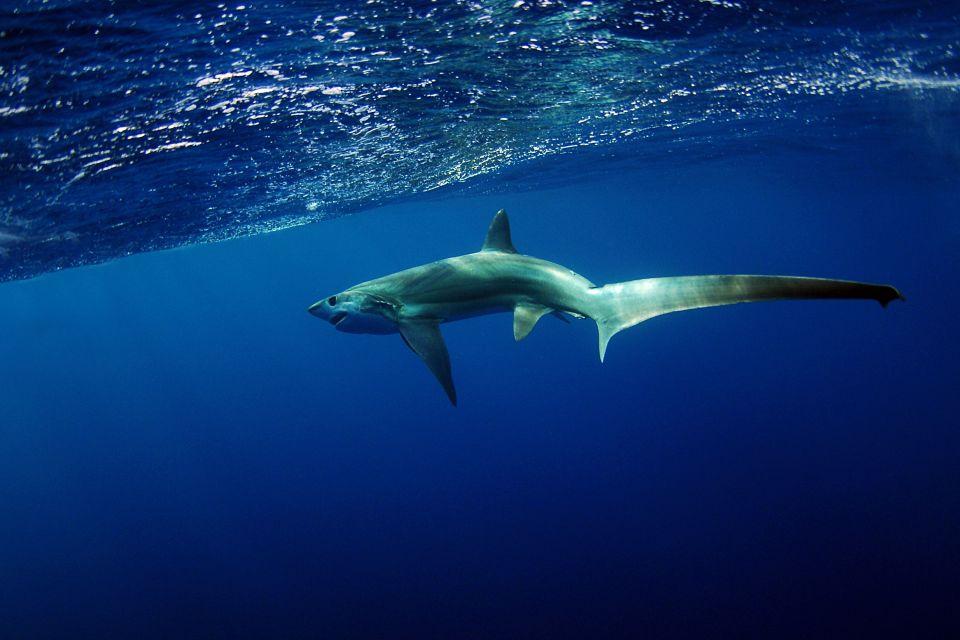 La faune et la flore, requin, animal, faune, sous-marine, sous-marin, poisson, égypte, afrique, moyen-orient, mer rouge, plongée
