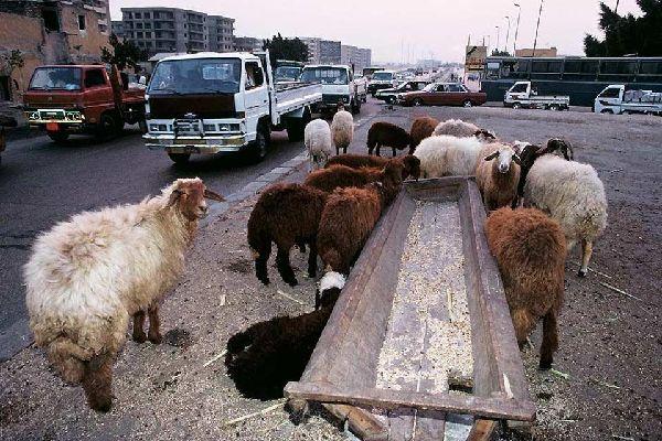 Le colture , Egitto