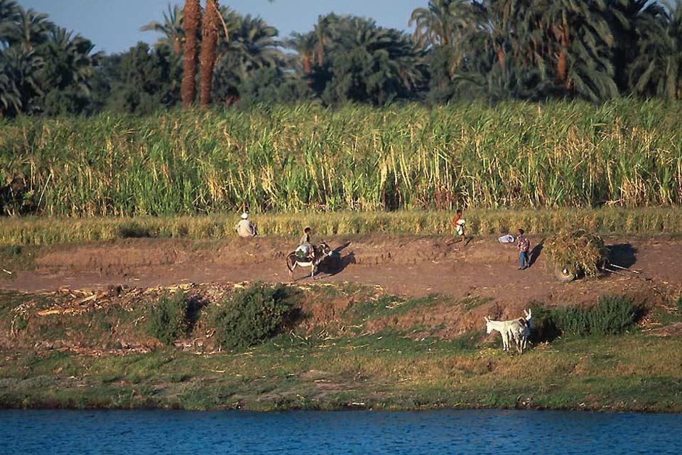 Los cultivos , Egipto