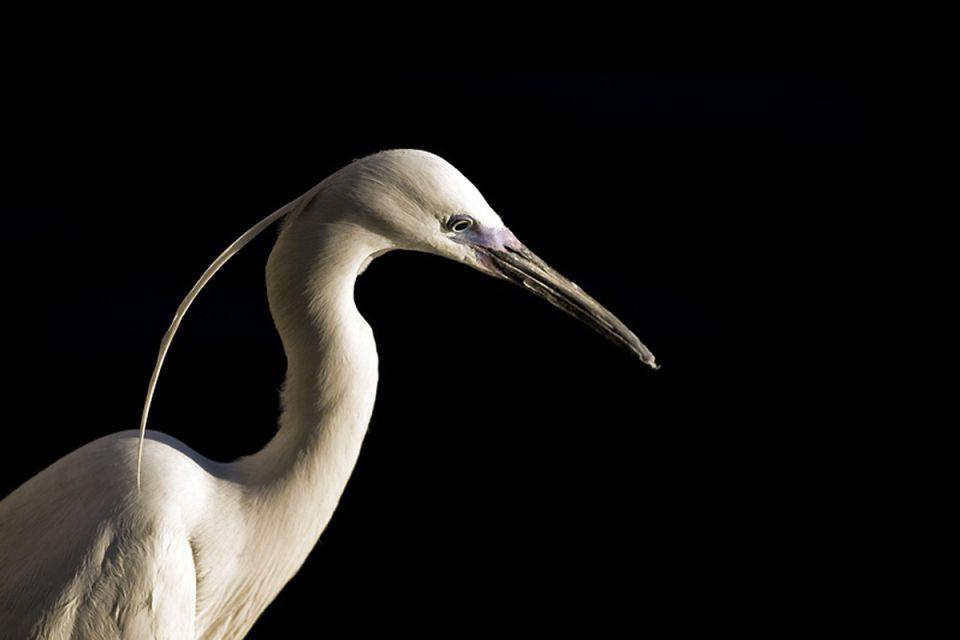 La faune et la flore, aigrette, oiseau, faune, nil, animal, égypte, afrique, échassier