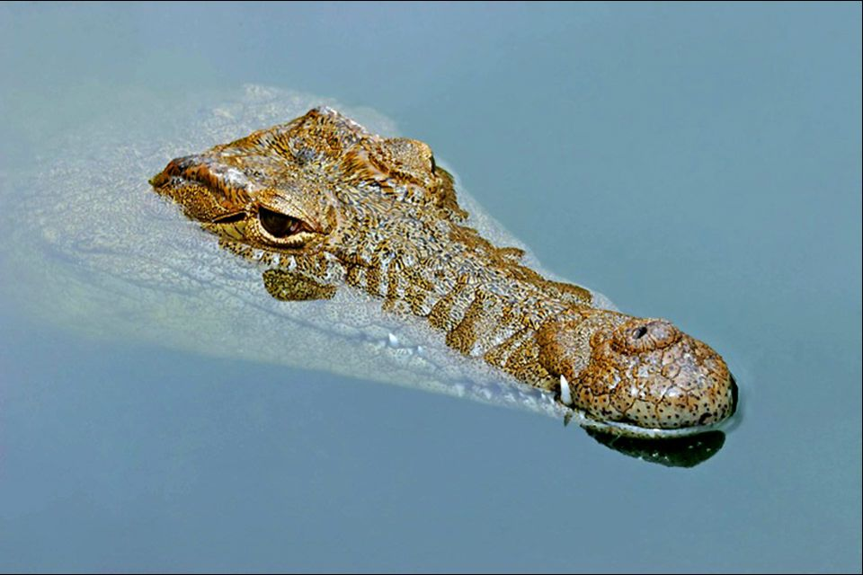 La faune et la flore, crocodile, nil, faune, reptile, animal, égypte, afrique, prédateur