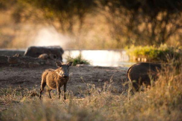Die Jagd , Wildschweine , Algerien