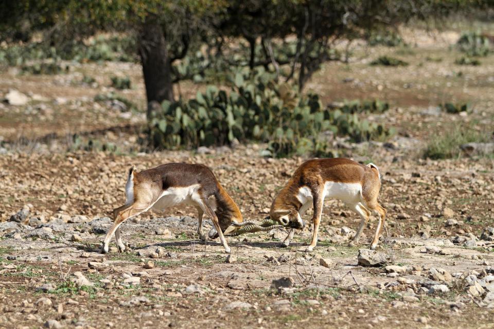 La caza , Argelia