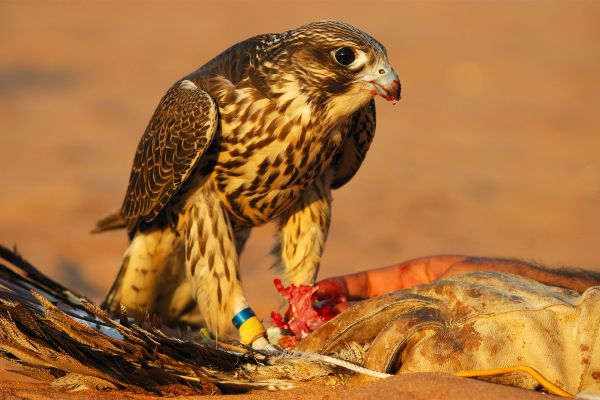 The falcon, a terrifying predator, Falconry, The fauna and flora, Abu Dhabi, United Arab Emirates