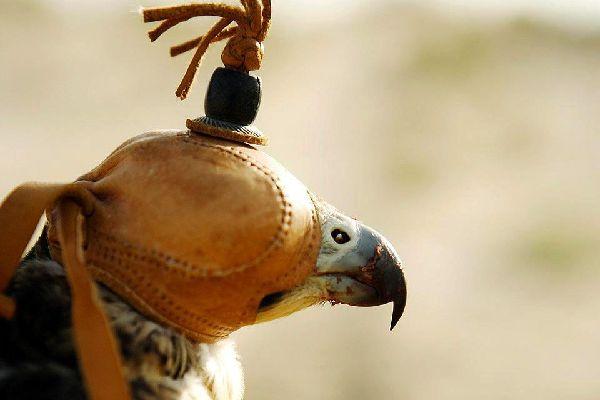 Falconry , A precious tradition , United Arab Emirates