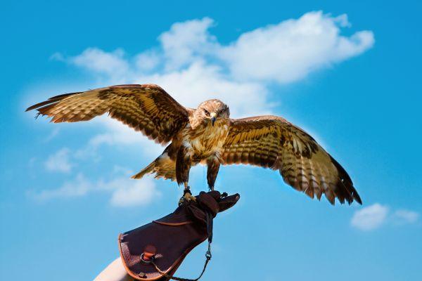 A falcon trainer, the United Arab Emirates, Falconry, The fauna and flora, Abu Dhabi, United Arab Emirates