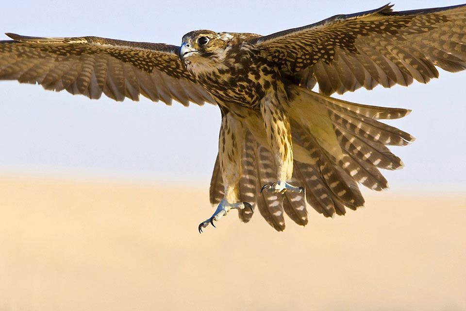 Falconry , The falcon, emblematic of the United Arab Emi , United Arab Emirates