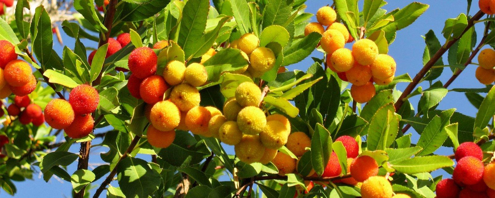 La faune et la flore, Arbousier, algérie, flore, fruit, arbre, afrique, maghreb