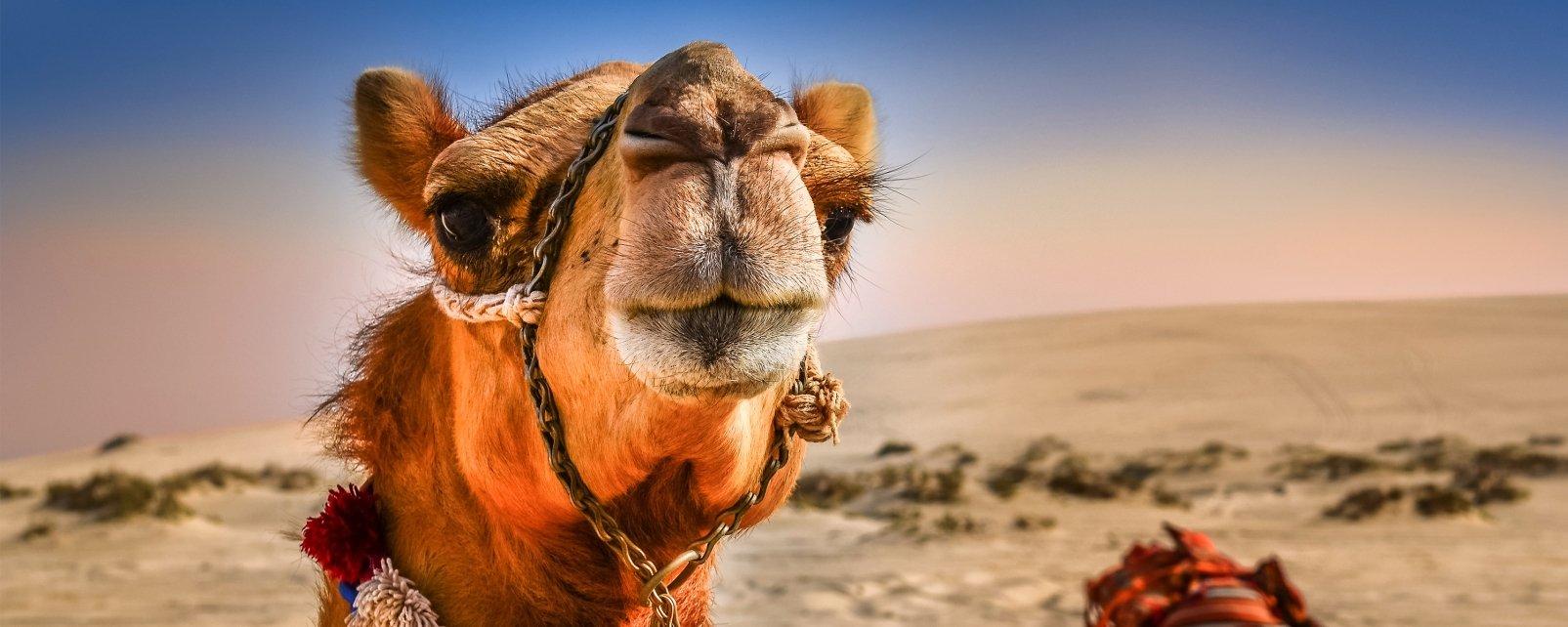 La faune et la flore, algérie, afrique, maghreb, désert, animal, dromadaire, chameau, mammifère