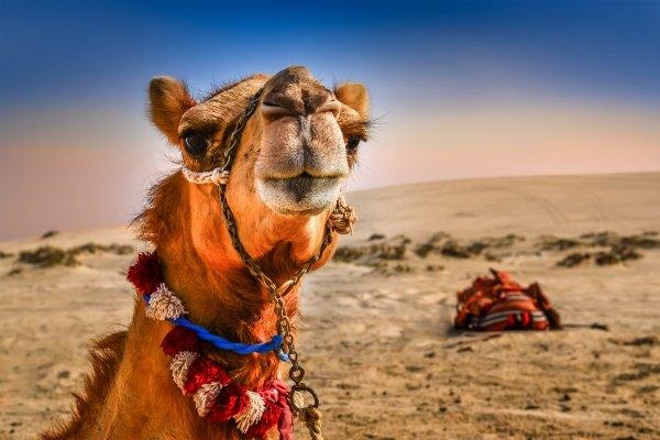 Die Fauna , Wüstenschiffe , Algerien