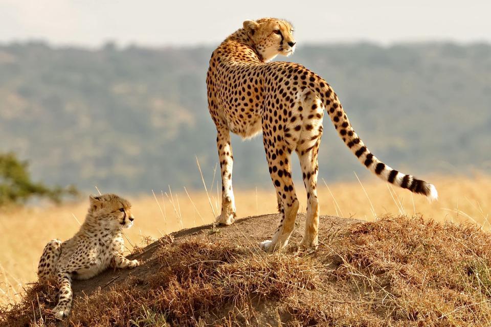 La fauna , El guepardo subsahariano , Argelia
