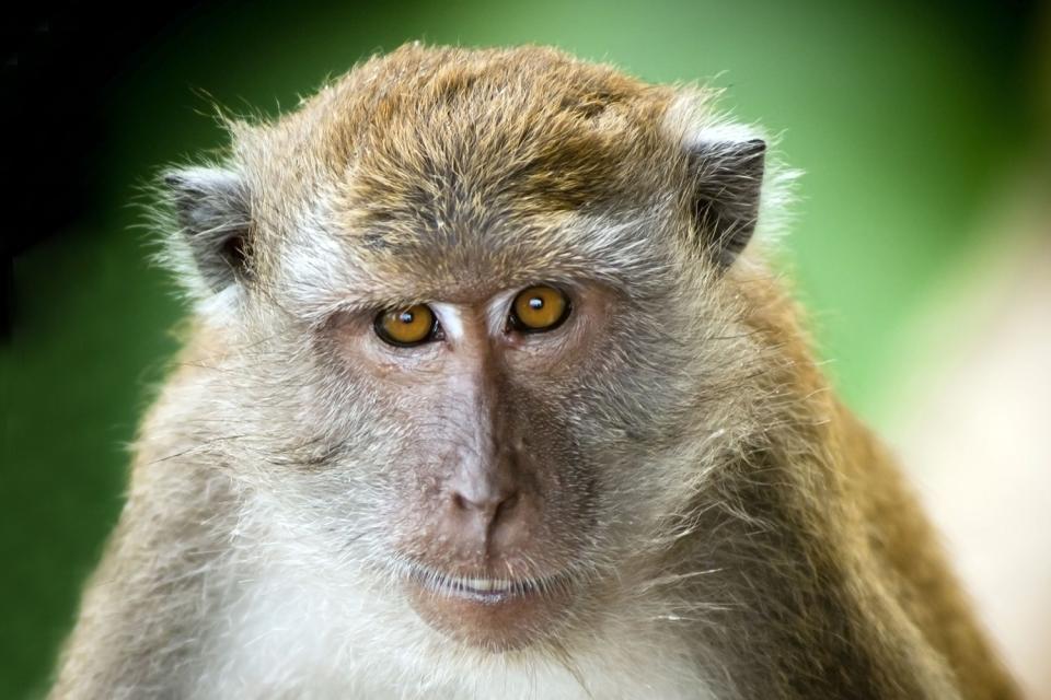 La fauna , El magot: una especie amenazada , Argelia