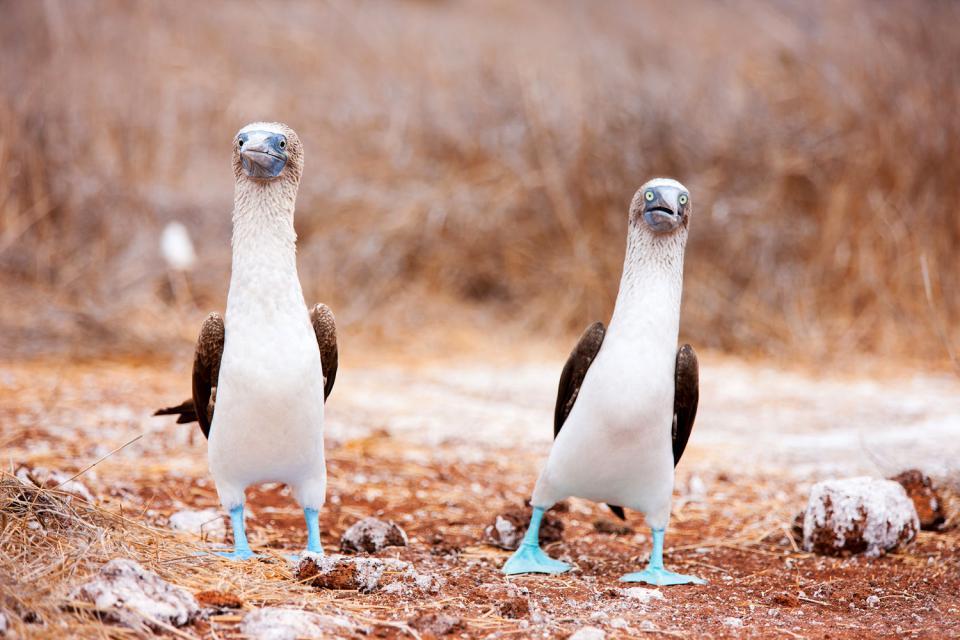Fauna y flora de las Galápagos , Una iguana de las Galápagos , Ecuador y Galápagos
