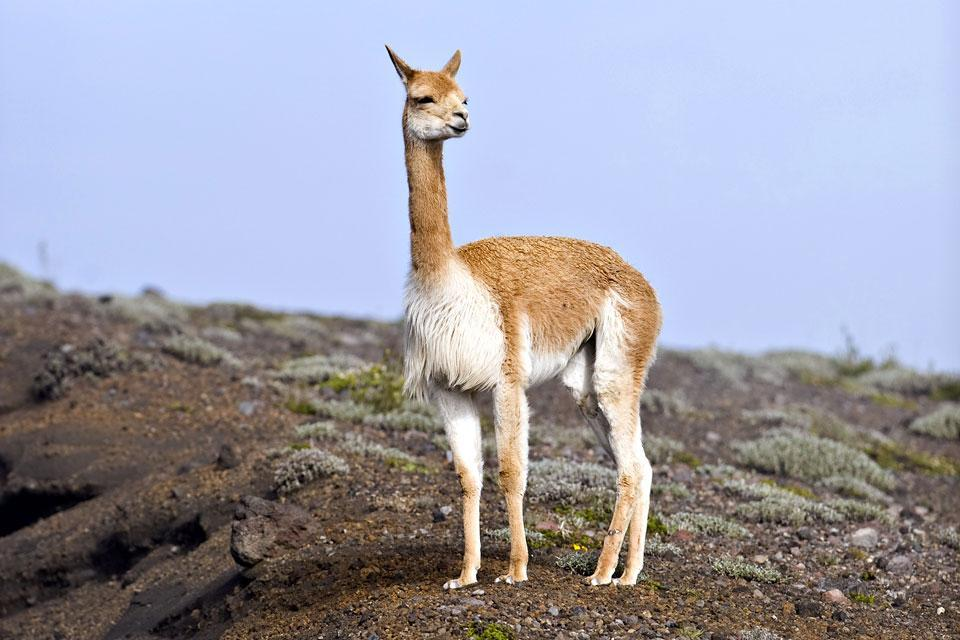 La fauna andina , Ecuador y Galápagos