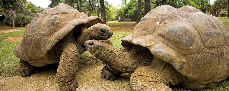 Le tartarughe delle galapagos ecuador e galapagos for Tartarughe grandi