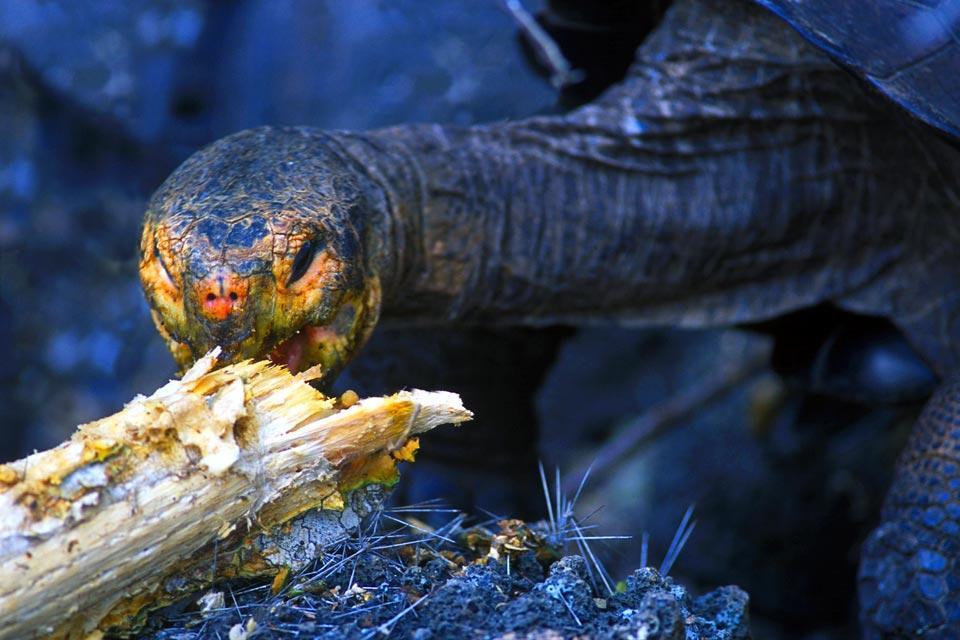 Las Tortugas de las Galápagos , Ecuador y Galápagos