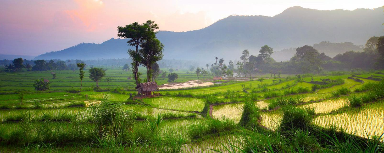 Asie, Indonésie, Bali, rizière, riz, terrasse, arbre,