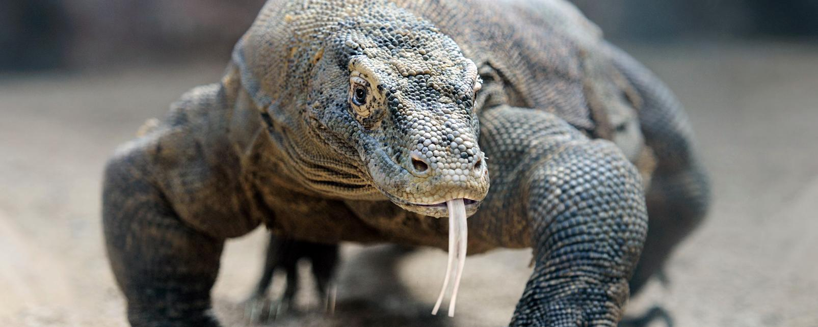 Asie, Indonésie, dragon de Komodo, dragon, Komodo,