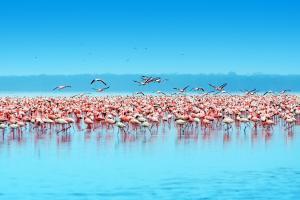 Afrique, Kenya, flamand rose, lac, Nakuru,