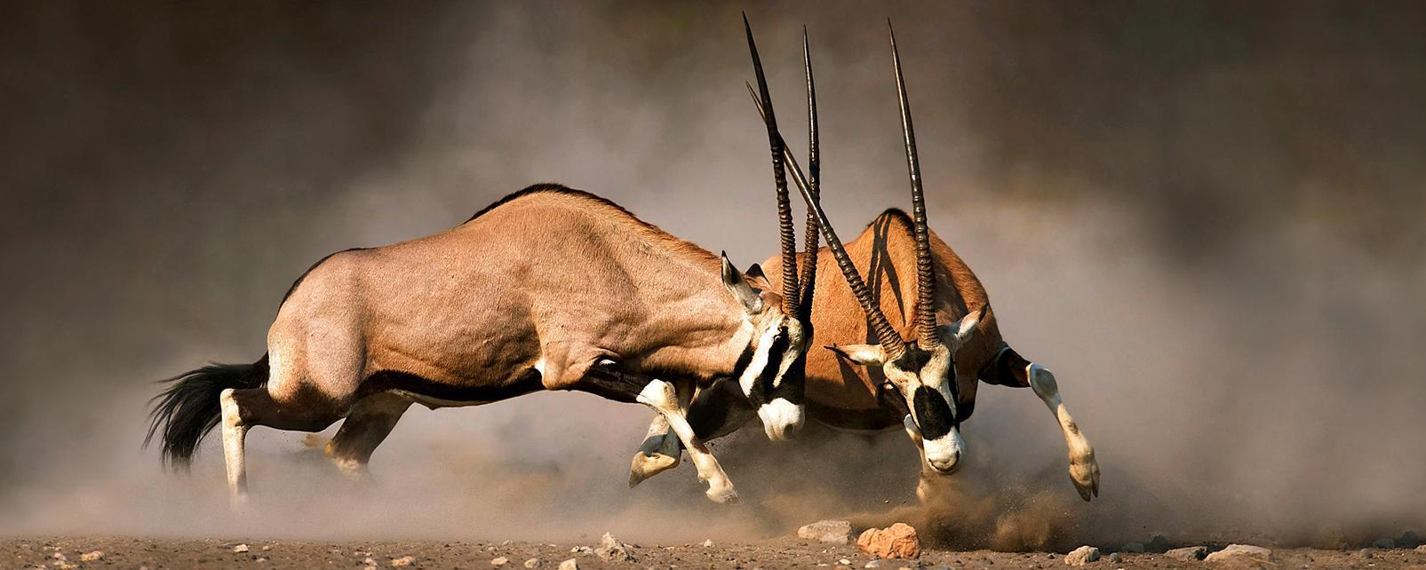 Afrique, Lesotho, gemsbok, oryx gazelle, lutte,