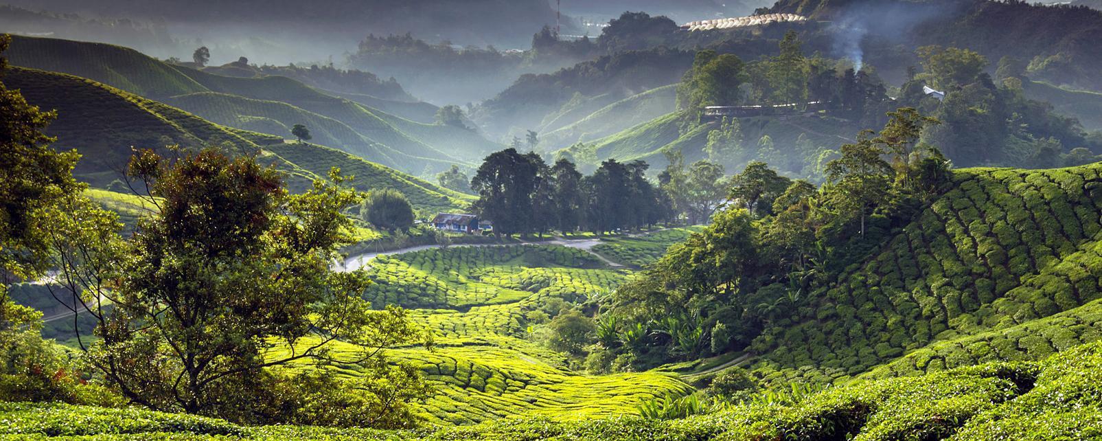 Asie, Malaisie, Cameron Highlands, plantation, thé, montagne,