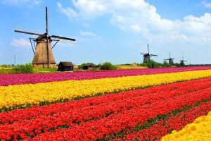 Europe, Pays-Bas, moulin à vent, champ, tulipe,
