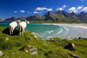 Europe, Norvège, Lofoten, île, mouton, montagne, mer, rocher,