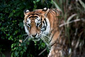 Asie, Bangladesh, tigre, forêt, jungle,