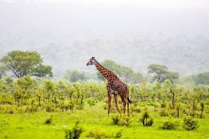 Afrique, Botswana, girafe, savane, arbre,
