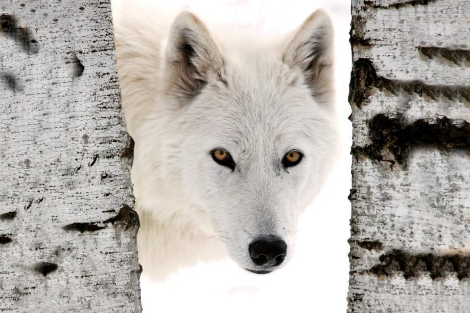 Amérique, Amérique du Nord, Canada, amérique, loup, faune, mammifère,