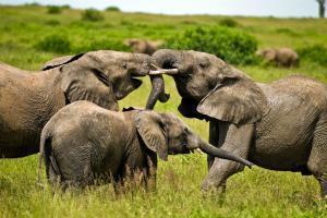 Afrique, Côte d'Ivoire, éléphant, savane, arbre,