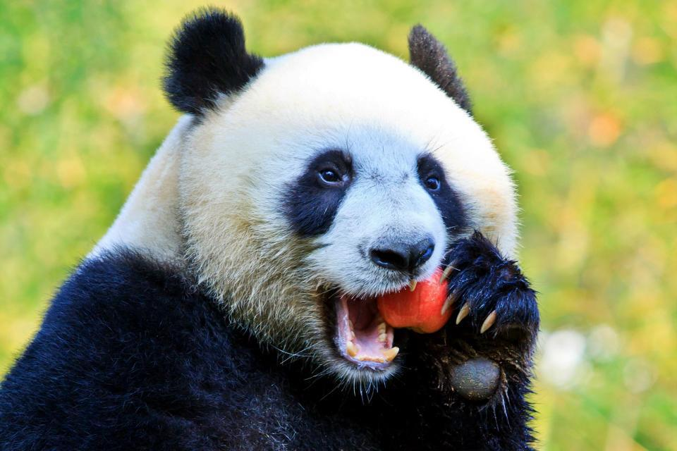 Asie, Chine, Panda, pomme,