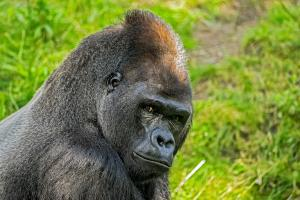 Afrique, Gabon, gorille, forêt, jungle,