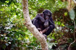 Afrique, Gambie, chimpanzé, arbre, nature, forêt,