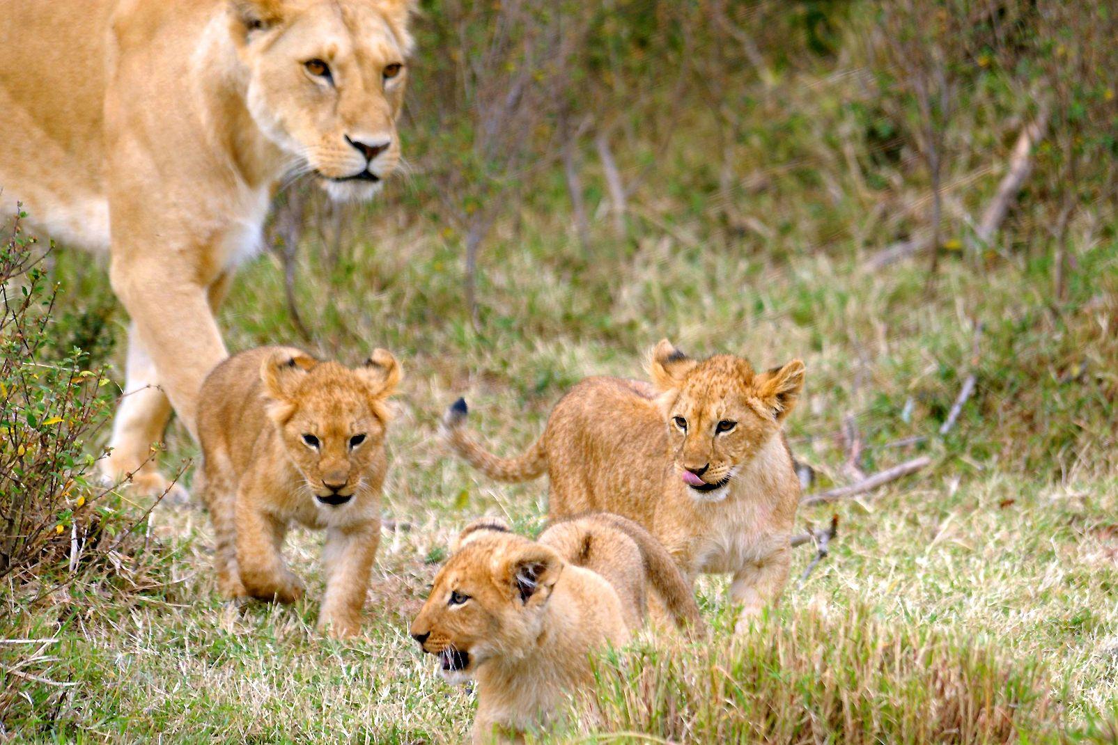 afrique, kenya, lionne, lionceau; mammifère