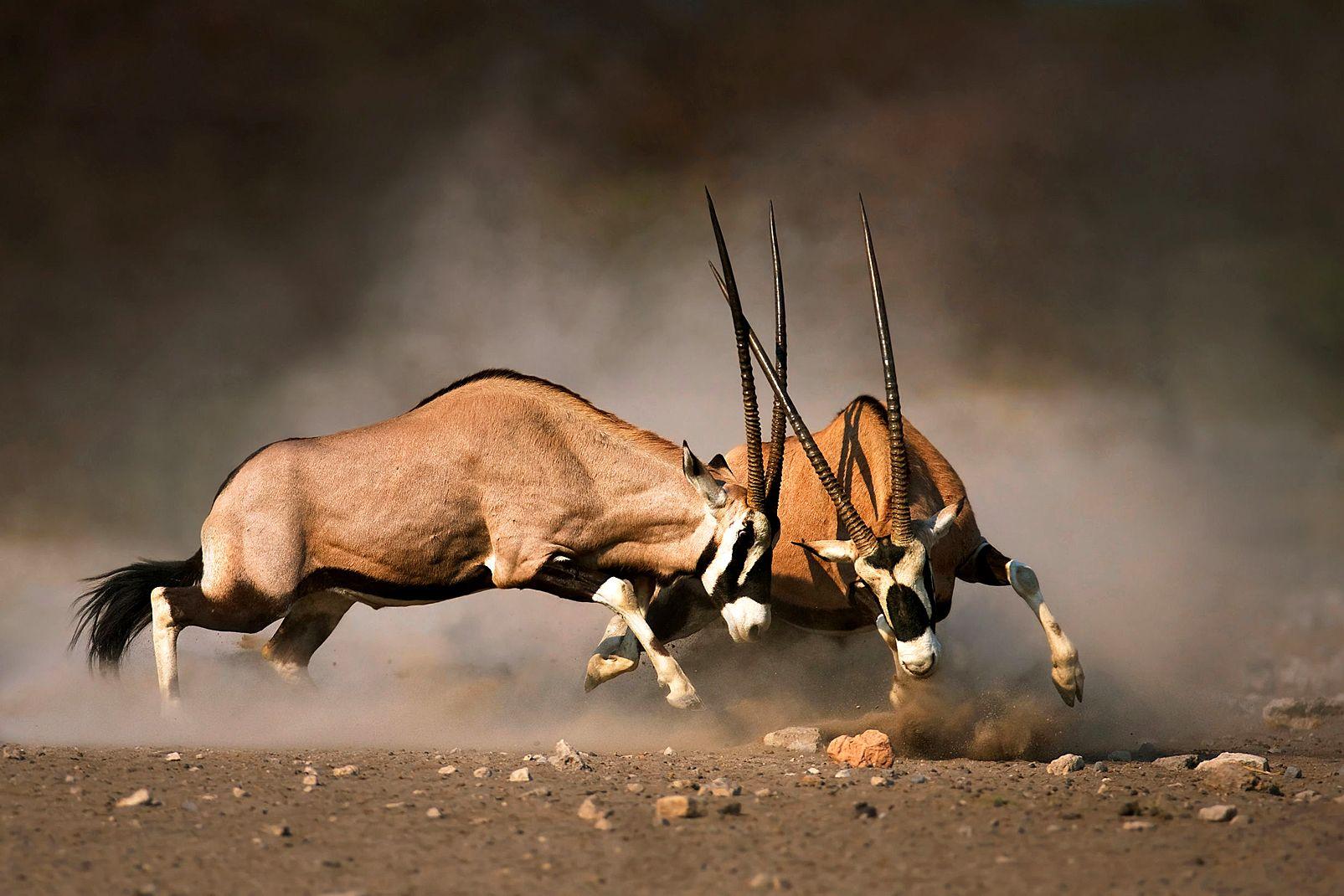 afrique, lesotho, gemsbok, oryx, gazelle, combat, Etosha
