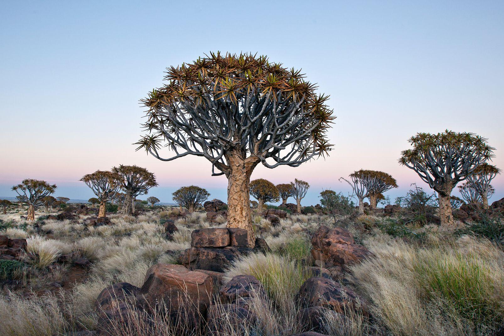 afrique, namibie, forêt, quivertree, arbre, kokerboom