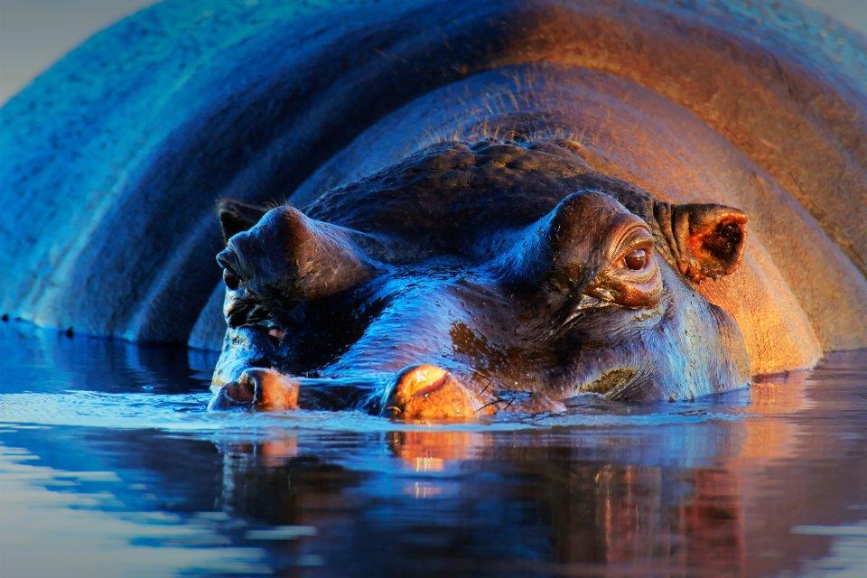 Hippopotame, afrique, nigéria, niger, mammifère, pachyderme, forêt