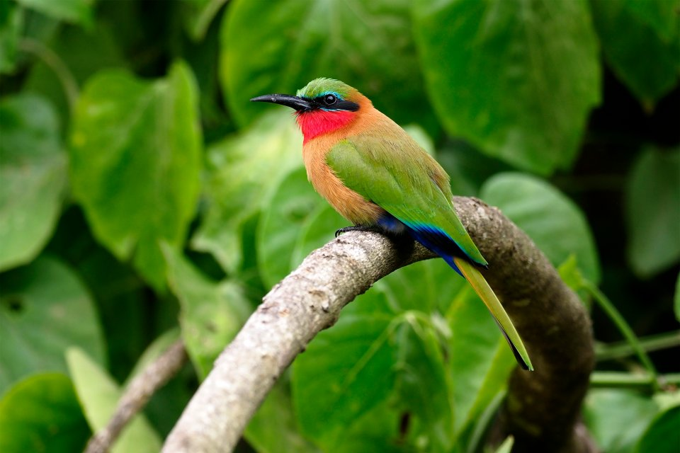 Red-throated bee-eater, Merops bulocki, Red, throated, bee-eater, bird, nature, wildlife, animal, Africa, Uganda, African