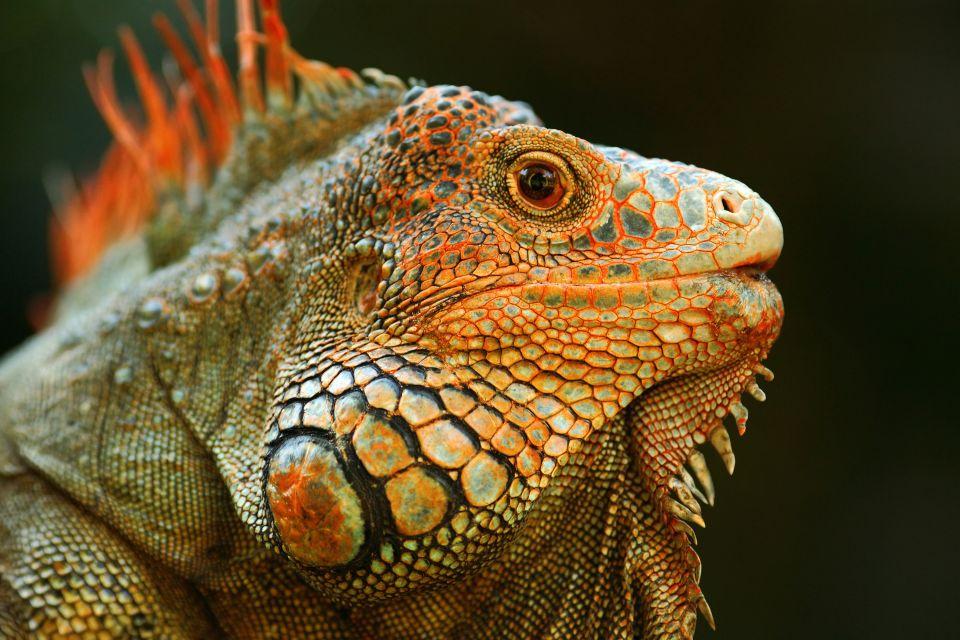 amazonie, amérique, sud, paraguay, animal, faune, reptile, iguane
