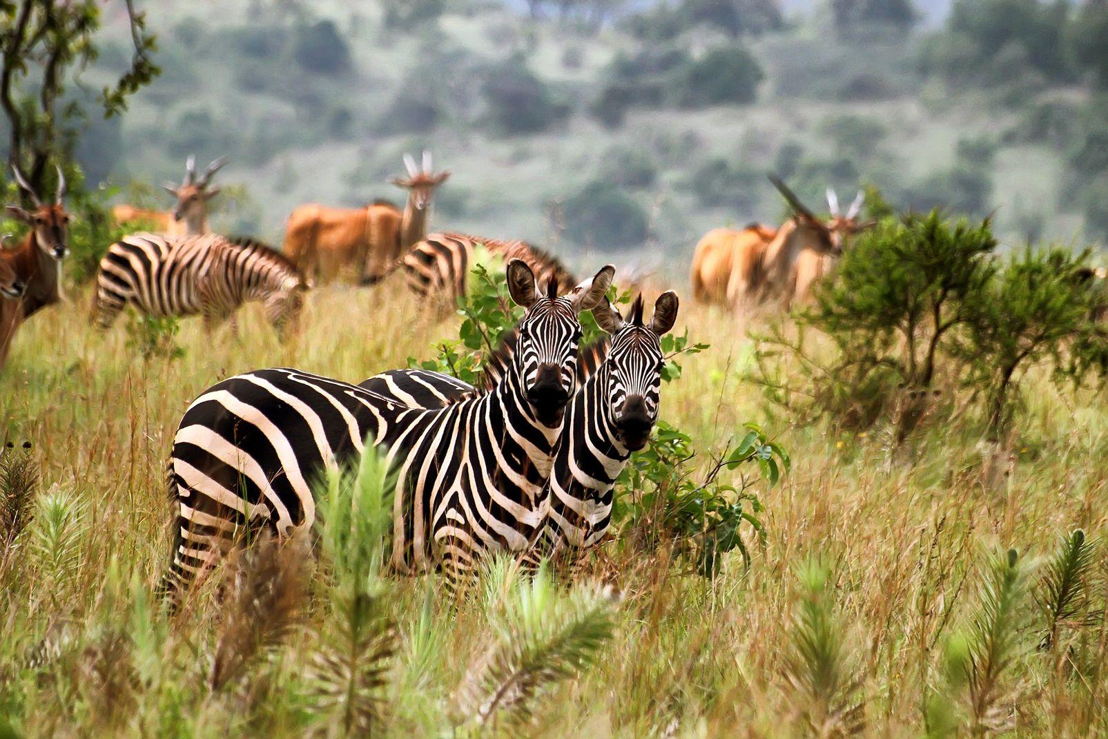 afrique, rwanda, zèbre, parc, akagera