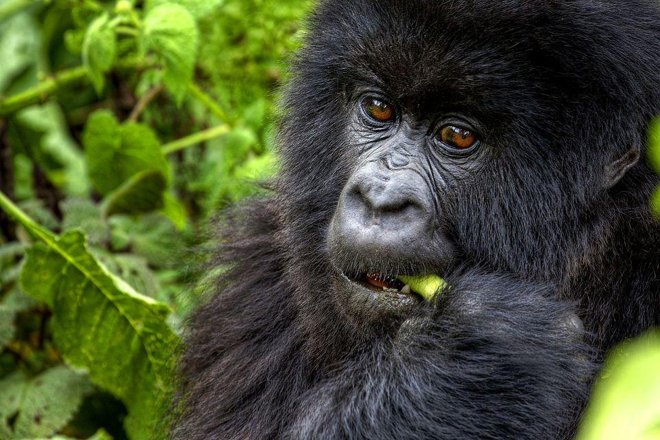 afrique, rwanda, gorille, montagne, végétation; mammifère
